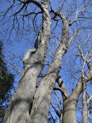 見事なシデの木