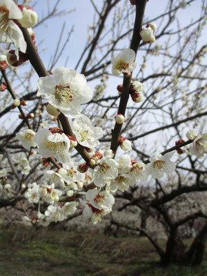 美しく咲いている梅 とてもいい香りです