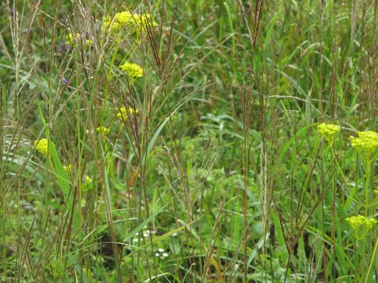 湿原では一気に秋の気分 オミナエシ