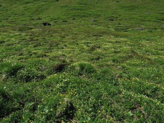 一面のチングルマの花畑 少し盛りを過ぎていて、雄しべなどが目立つのか全体黄色がかって見える