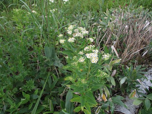 ゴマナでしょうか、シラヤマギクでしょうか 木道脇に白い花がきれいに咲いていました