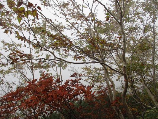 そのなかで、霧のなかの木々の色づきが嬉しい