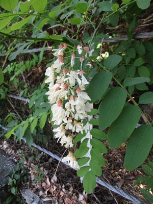 普段高い木の上で咲いているのでまじまじと見ることのないニセアカシアの花 ものすごい増殖力のある木ですが、近くで見る花はとてもきれいです
