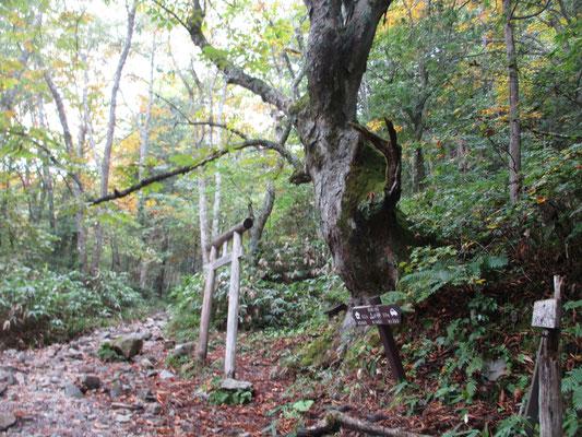 登山口からしばらく行くと「山の神」 鳥居の奥に小さな祠があり、脇には立派なトチノキが山の神を守るように立つ