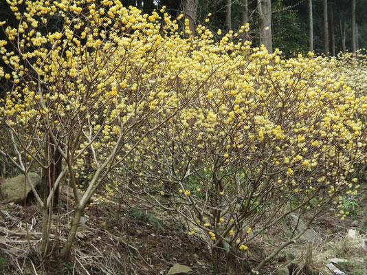 七分咲きのミツマタ