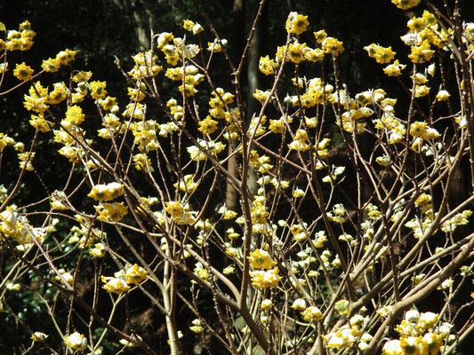 到着した「ミツマタ桃源郷」に咲くミツマタ 一帯はいい香りにつつまれている