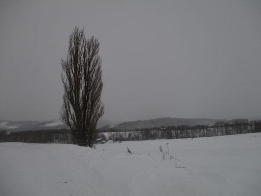 美瑛の観光スポットの一つ「ケンとメリーの木」 こうした何とかの木、というのが各所にあります