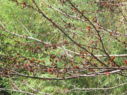 下山した大沢登山口にあるフサザクラ すでに赤く花芽が芽吹き始めていた
