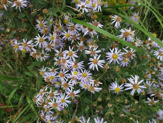 キク科の花が華やか ノコンギク