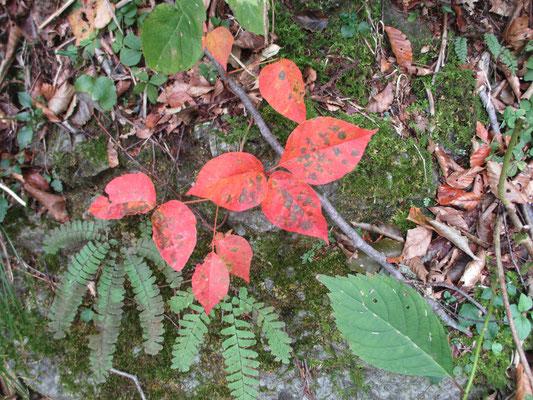 赤い葉 何の葉?