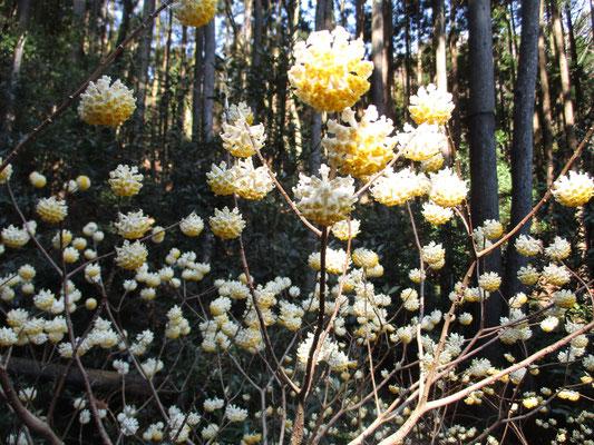 まん丸に開いたミツマタの花