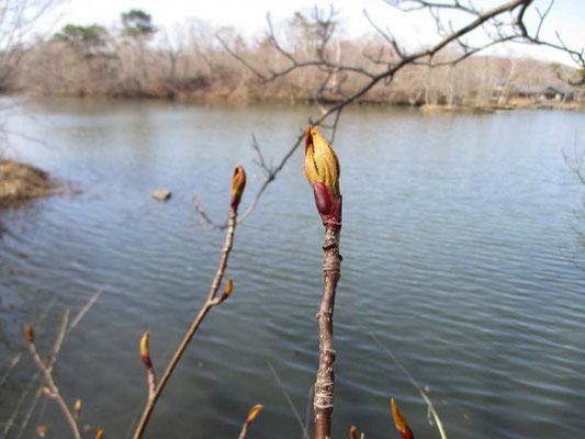木の芽吹き