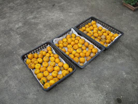最後には事務局で集合し、柚子のお土産をもらう♪ みなさん、ゆず湯かな?