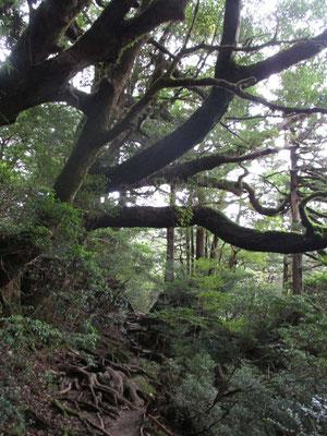 幹がすでに一本の大木並の木々