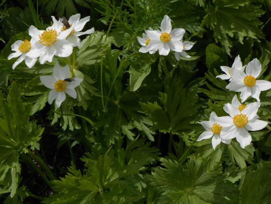 夏を代表する高山植物 ハクサンイチゲ