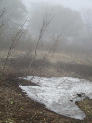 霧のなかの残雪 脇にはフキノトウがたくさん咲いていました