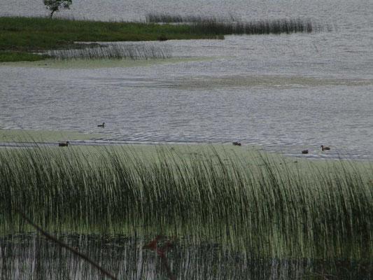尾瀬沼には水鳥が憩っていました だんだんと空模様も怪しくなってきています