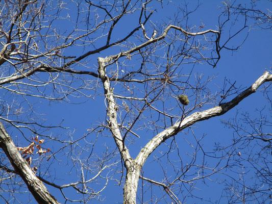 その辺りの木に、小鳥の巣(古いもの)が引っかかっているのを見つける この日は風が強かったが、この谷あいだけは日当たりもよく風の影響が殆どない 小鳥たちはちゃんとそういう場所を知っているのだ
