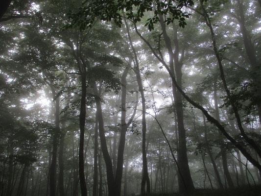 本日、見納めの霧のなかのブナ林