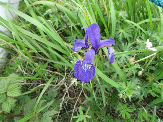 アヤメ これも素晴らしく美しい紫です