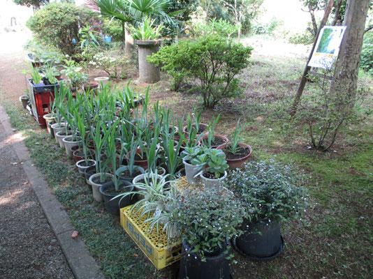 鉢売りのヒオウギ 種から育てるより花が確実に咲くので楽しみです