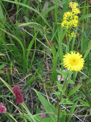黄色い丸い花はオゼミズギク、細かいのはアキノキリンソウ