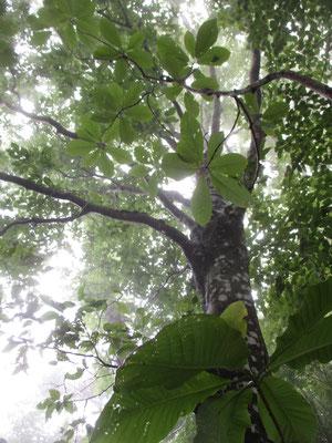 でっかくて面白いホウの木の葉っぱ