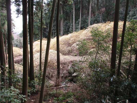 傍らの杉林にちょっと登ると、美しく咲くミツマタが俯瞰できまた格別です