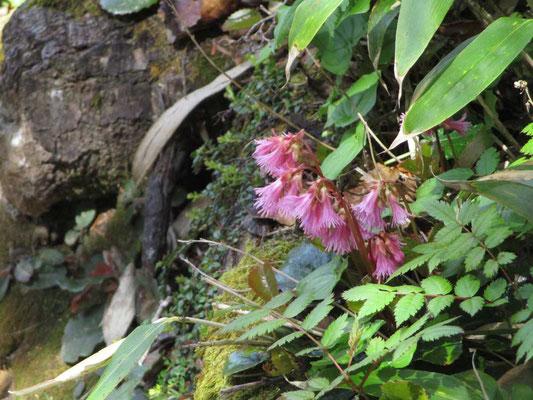 イワカガミが美しく咲いていました