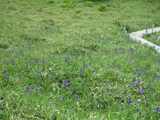 池ノ平の湿原は今がちょうどアヤメの見頃 一面ずっと紫が続いていました