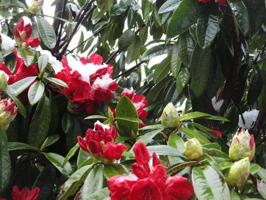 随分と早い開花のしゃくなげに雪