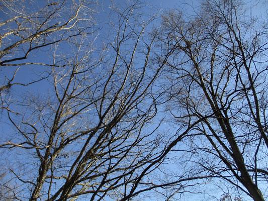 青空に映える木の小枝 先端まで繊細に枝が広がり美の極地