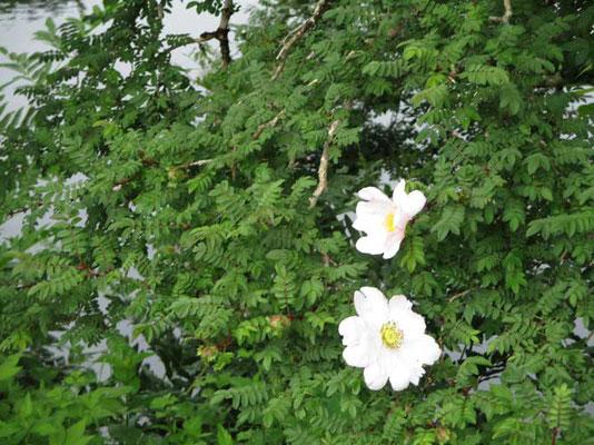 サンショウバラ 蕾のときは濃いピンク(赤に近い)だんだんと色が薄くなっていくそうで、この花はもう白に近い