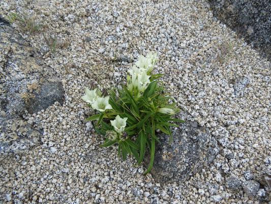 花崗岩地質に咲くトウヤクリンドウ