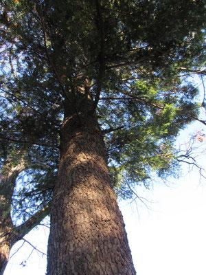 尾根上にはとても立派なモミの木がところどころにあります この大きなモミの木が稜線の崩れを踏ん張って防いでいてくれています