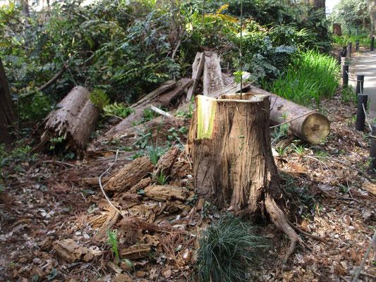 伐り倒された残骸の木の脇の切り株が新しい植木鉢