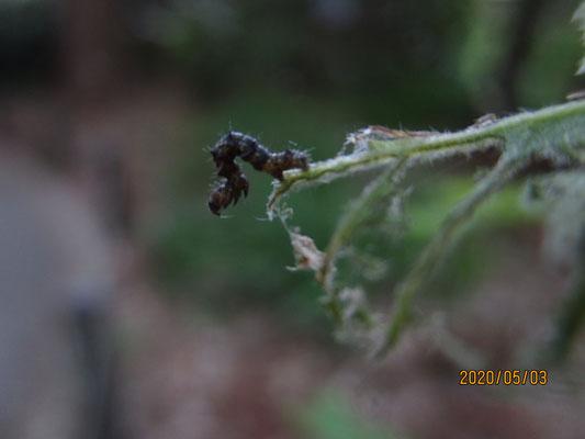 細長いナナフシモドキ?より、木の若い葉っぱを食い荒らしたのは殆どこの幼虫のせいだと思う