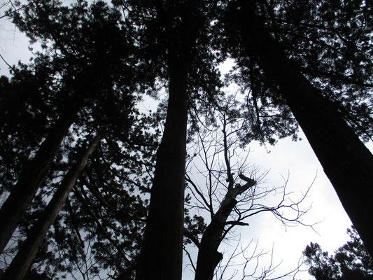 空を指すような巨木の杉が林立