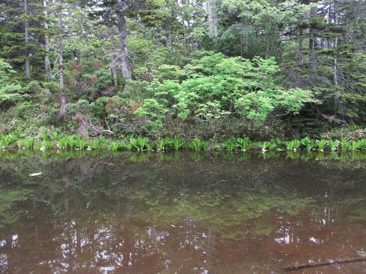 次に来たのが「バショウ沼」その名の通りミズバショウが縁取っていました