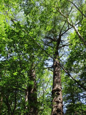 温泉の湿原をやり過ごし一登りすると途端に深山幽谷の風情 天然林の森に入ります 大きな針葉樹を見上げます