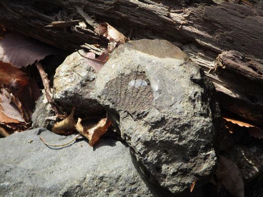 その滝の足元には「カネハラニシキガイ」の化石痕が残る石がある かつては海だった証拠