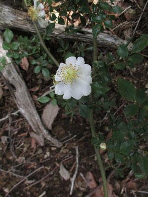 ノイバラの美しい花