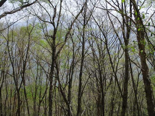 新緑ちょい前の枝越しに見える仙丈ヶ岳