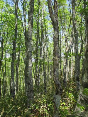 ブナ林の中をゆく