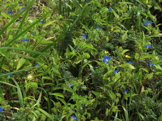 ツユクサ 何処にでも咲いている野草ですが、コンクリで埋められた都会では昔ほど見かけなくなっているような気がします 美しいコバルトブルーです