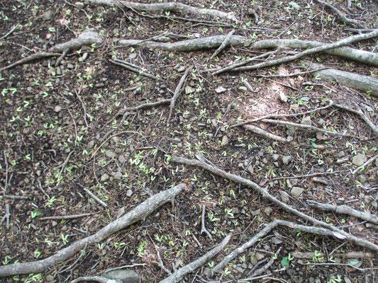 こちらはモミジの種がいちめん