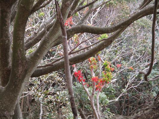 前々から観察されて不思議に思っている、この時期に紅葉しているハゼノキ