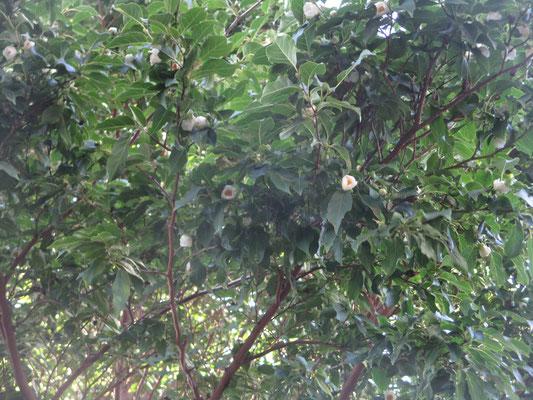 6/10 道端に落花がたくさん 見上げると椿の小さいのが咲いている ナツツバキ