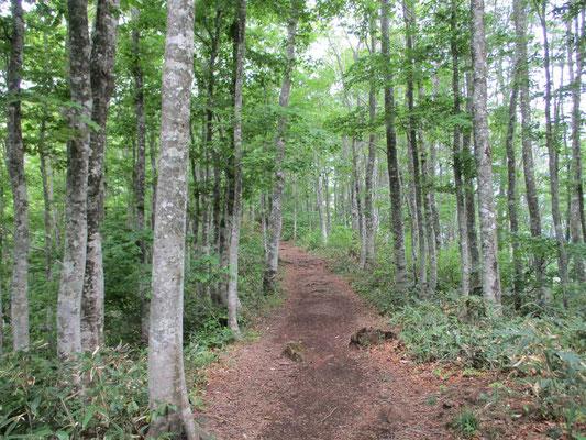 猫魔ヶ岳への登山道 太さの揃ったブナの林