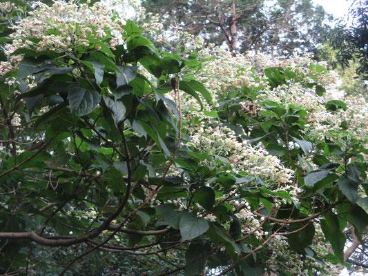 8月10日の様子 すでにもう沢山の花が咲いていて、そうするとなんとも言えない甘いような独特の匂いで辺り一面いっぱいになっている
